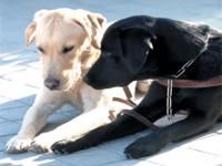 Fotos de dos perros-guia, uno blanco y otro negro